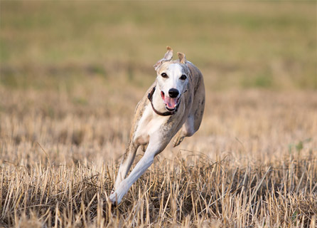 Whippet Running In A Field