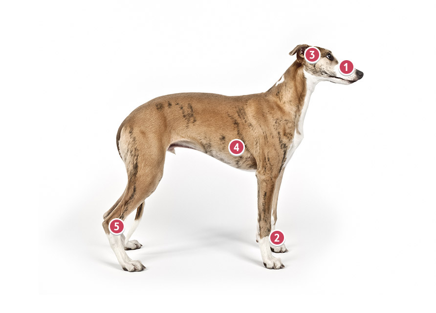 Standing Whippet Dog Looking Straight Ahead