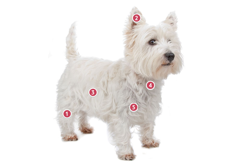 White West Highland Terrier Looking Straight On