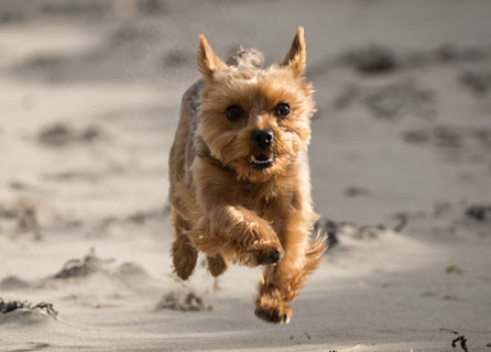 Yorkshire Terrier Sprints On The Beach