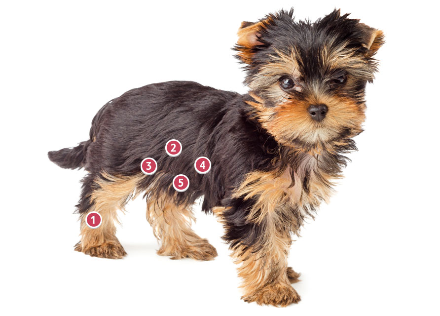 Black And Gold Yorkshire Terrier Looking Straight On